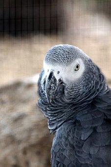 Jaco, Parrot, Psittacus Erithacus, Grey Parrot, Bird
