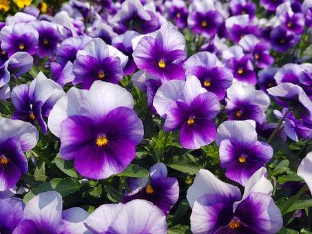 Pension, Flowers, A Look Of, Purple, Behold, Sort