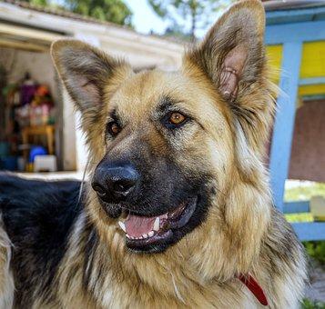 Dog, Dog Wolf, Pet, Profile Dog, Animals, Dog Resting