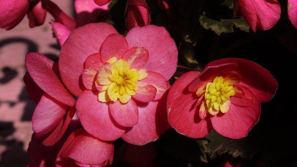 Flower, Garden, Nature, Pink Flowers, Romantic Garden