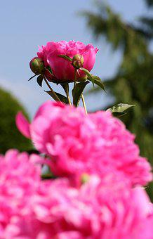 Flower, Peony, Sky, Blue, Pink, Spring-flowering