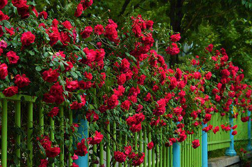 Fence, Rose, Nature, Plants