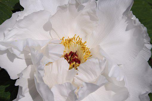 Peony, Pure White, Flowers, Garden Beauty