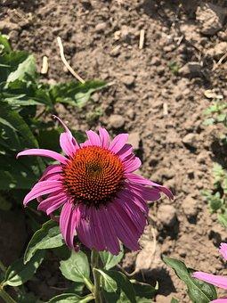 Echinacea, Coneflower, Purple Flower, Herbal, Immune