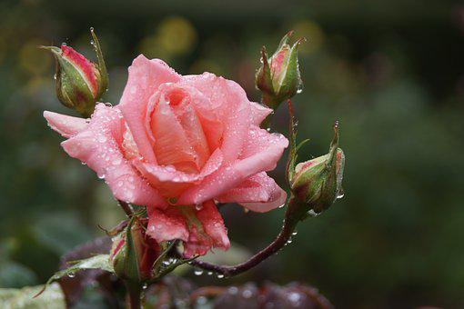 Pink, Rose, Water, Raindrops, Delicate, Flower