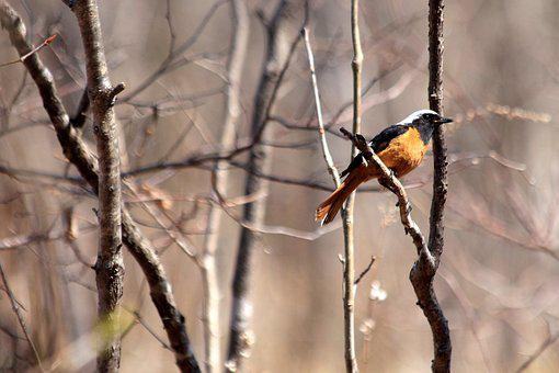 Redstart, Bird, Phoenicurus Auroreus, Living Nature