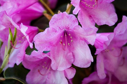 Rhododendron, Plant, Blossom, Bloom, Pink