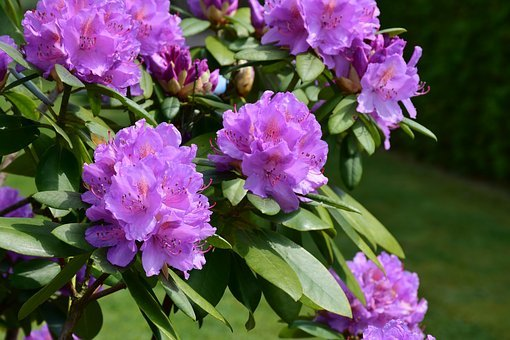 Rhododendron, Blossom, Bloom, Spring, Nature, Bush