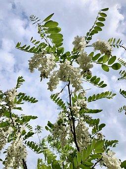 Robinia, Bloom, False Acacia, Robinia Pseudoacacia