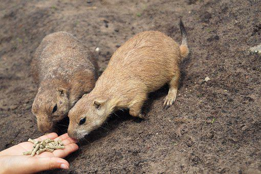 Prairie Dogs, Rodents, Animals, Zoo, Hand, Feed, Food
