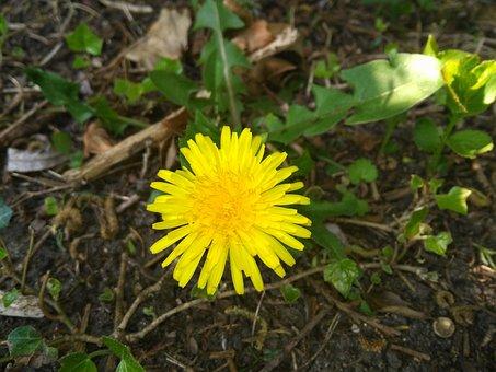 Nature, Garden, Grass, Dandelion, Royalty Free