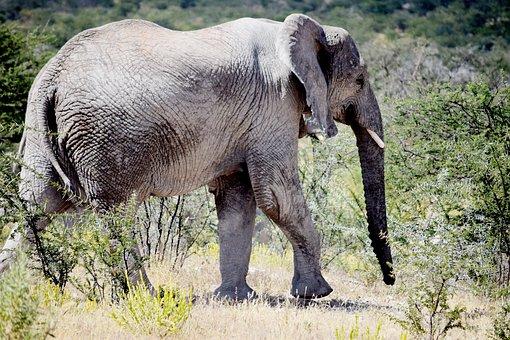 Elephant, Big, Animal, Walking, Wild, Wildlife, Safari