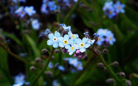 Flowers, Nots, Blue, The Delicacy, Nature, Spring