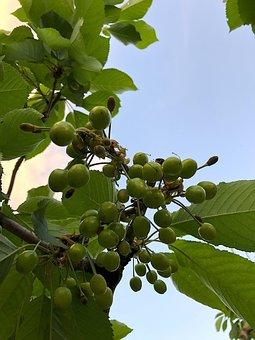Sweet Cherry, Fruits, 2018, Cherries, Fruit, Red