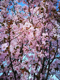 Sakura, Pink, Flowers, Spring, Beautiful, Tree