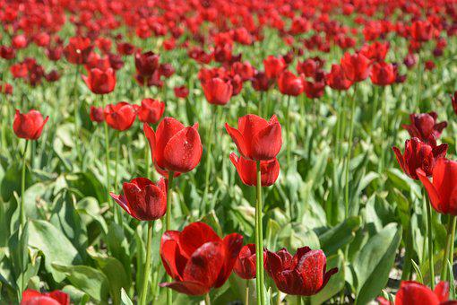 Tulips, Culture Of Tulips, Flowers, Pink Tulips
