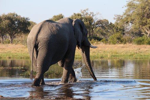 Elephant, Bush, Botswana, Water