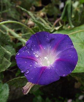 Morning Glory, Flower, Blossom, Vine, Dew Drop, Water
