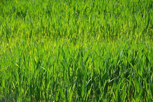 Wheats, Culture, Agricultural, Cultures, Herbs, Fields