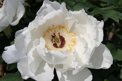 Peony, Stamens, Flourished, White, Blossomed, Beauty