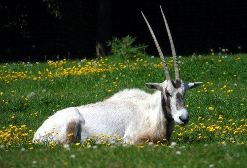 Oryx, Animal, Wildlife, Africa, Wild, Nature, Antelope