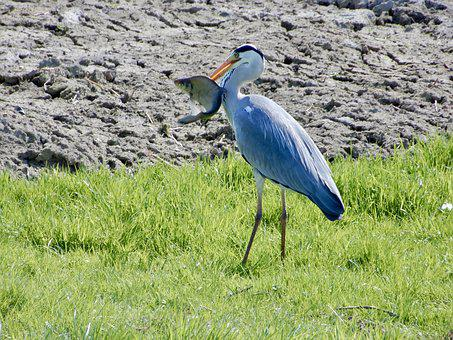 Heron, Blue Heron, Bird, Nature, Beak, Fish, Polder