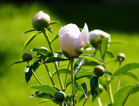 Peony, Flower, Blossom, Bloom