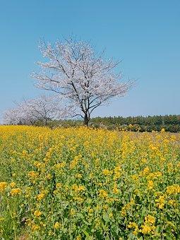 Jeju Island, Rape Flowers, Cherry Blossom, Landscape