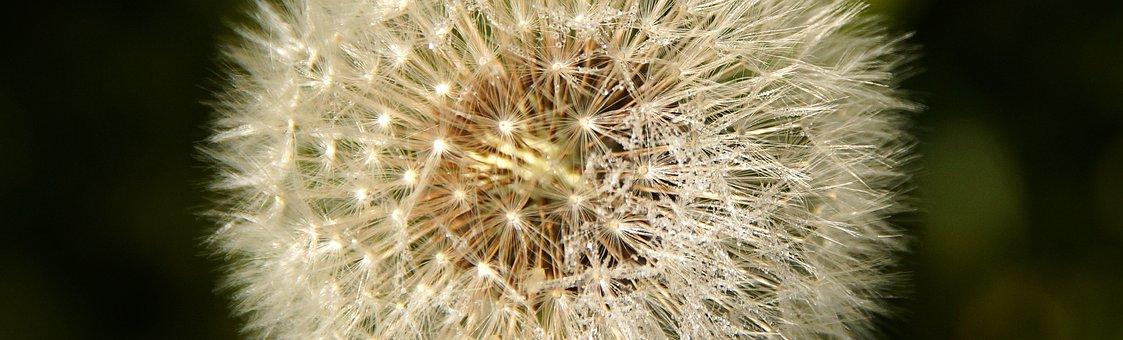 Dandelion, Seeds, Roadside, Flower, Close Up
