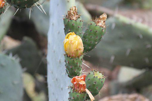 Fig, Prickly Pear