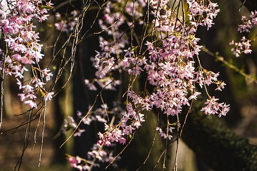 Weeping Cherry, Blossom, Flower, Nature, Spring