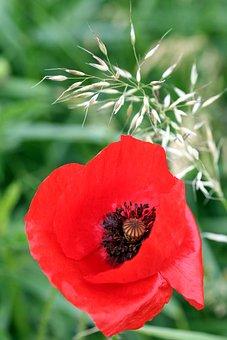 Flower, Poppy, Red, Nature, Field