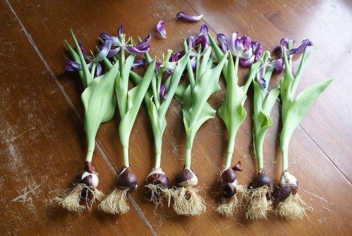 Spring, Tulip, Bulb, Flower, Garden, Green, Leaf