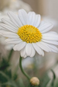 Marguerite, Flower, White, Yellow, Spring, Blossom