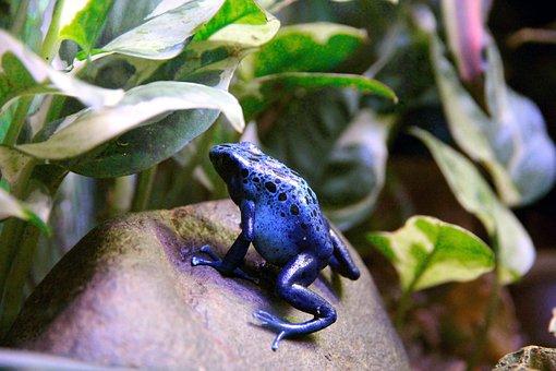 Frog, Dendrobates, Dendrobates Azureus, Amphibian