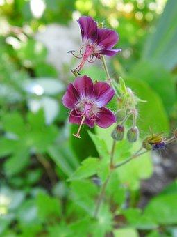 Kakost Hnedočervený, Geranium Phaeum L, Flower