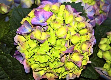 Plant, Hydrangea, Ornamental Plant, Hydrangea Flower