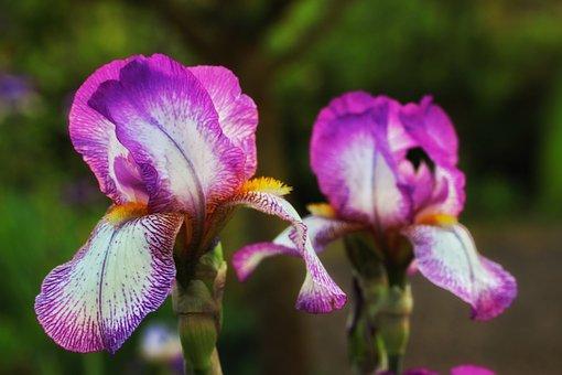 Iris, Purple, Pink, Close, Flower, Spring, Growth