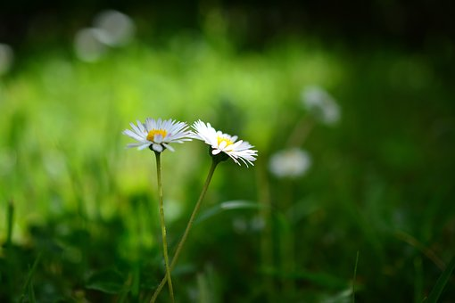 Daisy, Meadow, Grass, Flowers, Nature, Green