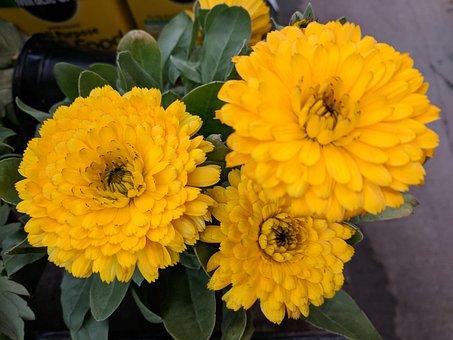 Chrysanthemum, Mum, Flower, Yellow Chrysanthemum