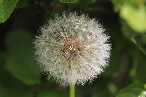 Dandelion, Seeds, Close Up, Macro, Nature, Blossom