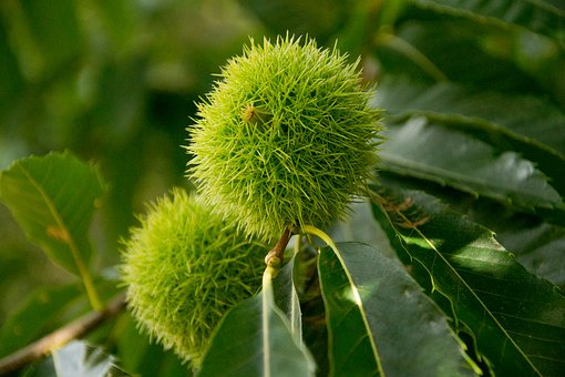 Chestnut, Nature, Fruit, Thorny