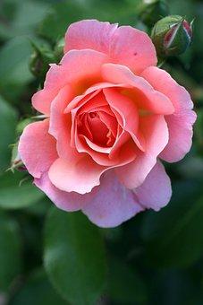 Pink, Rosebush, Garden, Flower, Nature, Petals