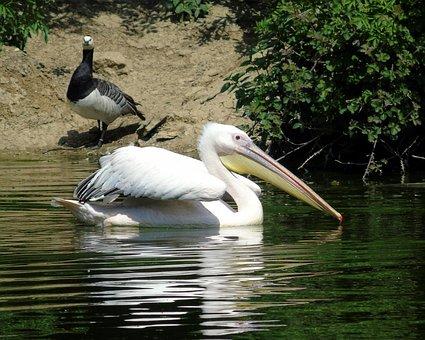 Pelican, Bird, Black, Sea, Wildlife, Animal, White