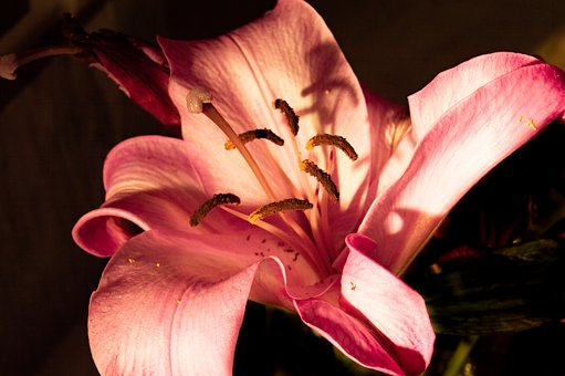 Lily, Pink Lily, Flower, Petal