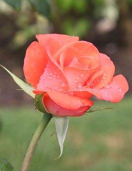 Rosa, Garden, Pink Petals, Pink Flower