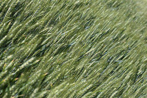 Wheat, Plant, Agriculture, Green, Field, Farm, Farming