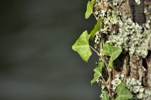 Leaves, Plants, Ivy, Vine