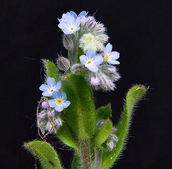 Forget Me Not, Pointed Flower, Close Up