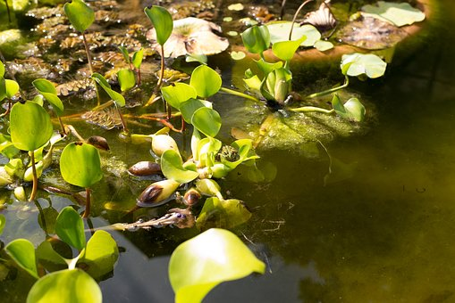 Plants, Water Lily, Pond, Aquatic Plants